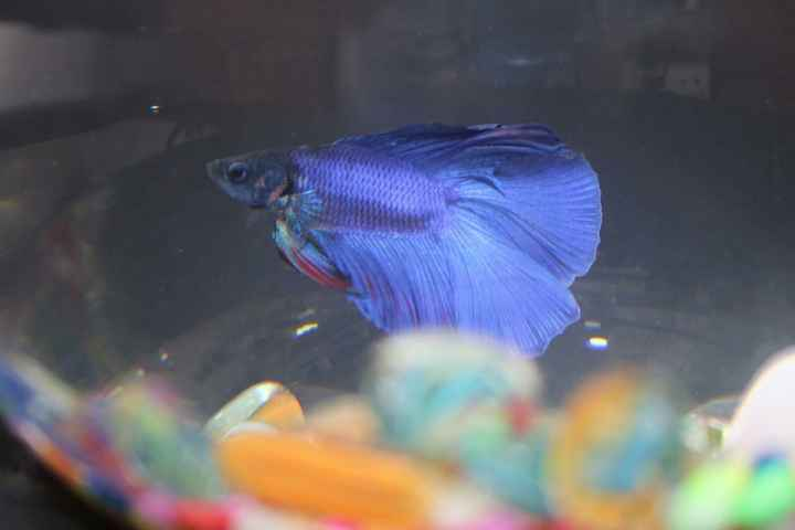 betta fish - ShareChat